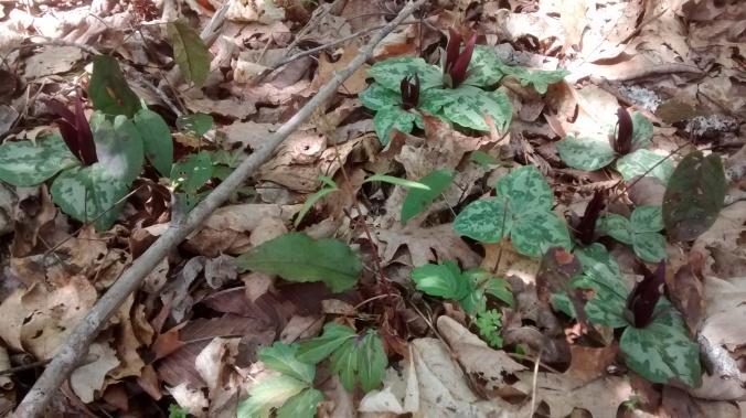 Toadshades (trillium)